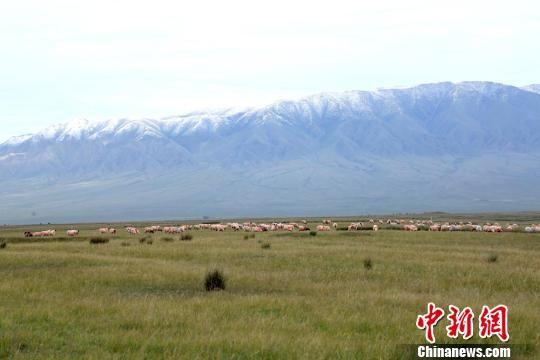 羊群散落在草原上觅食。 陈礼 摄