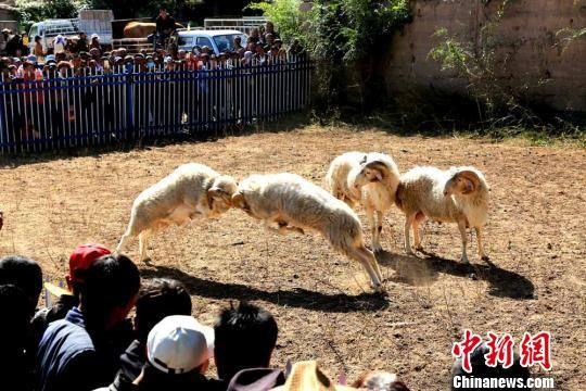 图为充满浓郁乡土气息的斗羊。 陈礼 摄