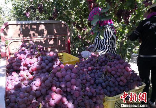 图为果农采摘葡萄。 刘玉桃 摄