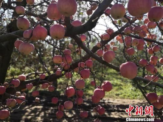 """图为""""苹果压枝""""。(资料图) 钟欣 摄"""