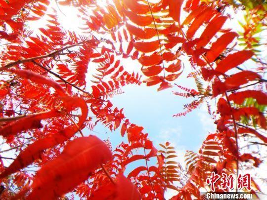 图为秋日阳光下的红叶。 陈兴明 摄