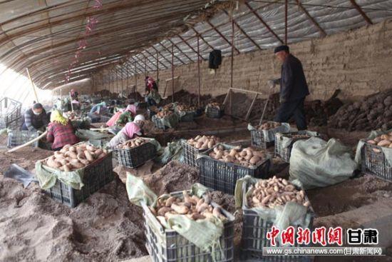 图为民乐县丰乐镇新庄村天麻获丰收。