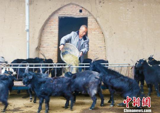 孙琪正在喂养陇东黑山羊。 高展 摄