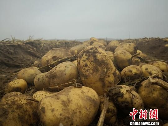 图为在定西市安定区农户田地里挖出来的马铃薯。 魏建军 摄