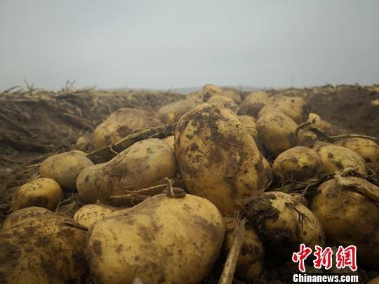 图为在定西市安定区农户田地里挖出来的马铃薯。魏建军 摄