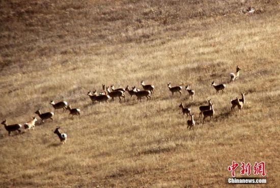 10月21日,甘肅山丹馬場草原一片金黃,一群普氏原羚(俗稱黃羊)在馬場草原上盡情奔跑。隨著祁連山生態環境治理和改善,山丹馬場草原上的普氏原羚逐年增加。陳禮 攝