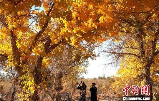 甘肃敦煌黄渠镇的胡杨林在秋色的沐浴下被染成金色,宛若仙境,引众欣赏美景。(资料图) 钟欣 摄