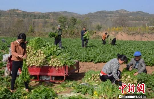 雪里蕻种植技术含量低、工作量小,当地不能外出务工的男人、留守老人、妇女种植起来毫无压力。图为在陈院镇合作社打工谋增收的村民。 陈海龙 摄