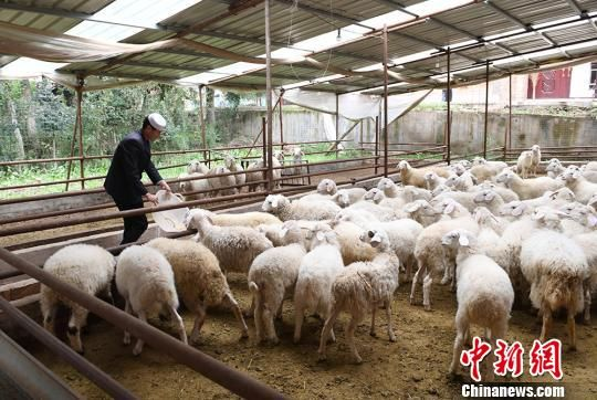 送体验机无需申请临夏回族自治州广河县扶贫羊产业。(资料图) 杨艳敏 摄