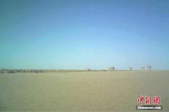 图为甘肃敦煌西湖国家级自然保护区红外相机拍摄的大群野骆驼。 王海 摄