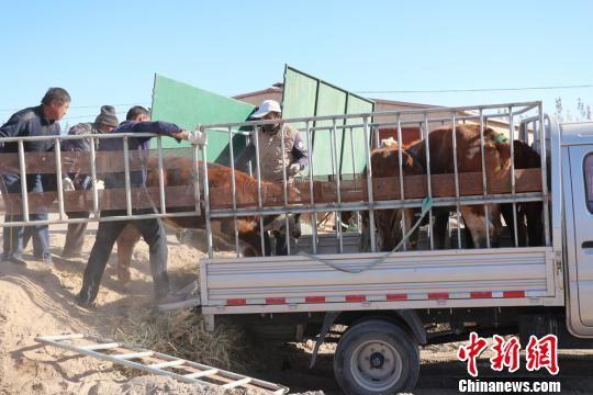 图为瓜州县梁湖乡发放扶贫牛。 杜萍 摄
