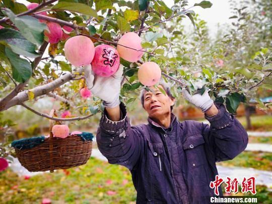 """小苹果已经成为庆阳市庆城县的大产业,更成为农民脱贫致富的""""金饭碗""""。图为庆阳市庆城县赤城乡农户忙着采摘苹果。(资料图) 高展 摄"""