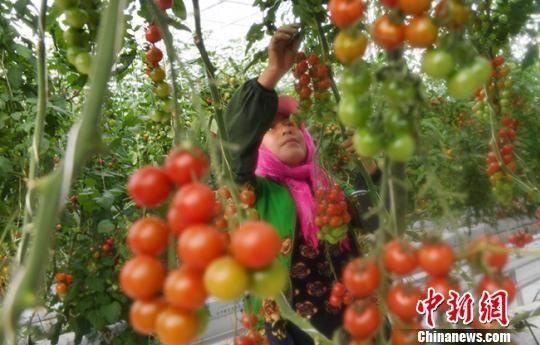 图为12月8日,农户在温室大棚内忙碌。 杨艳敏 摄