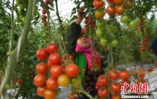 图为12月8日,甘肃酒泉农户在温室大棚内忙碌。 杨艳敏 摄
