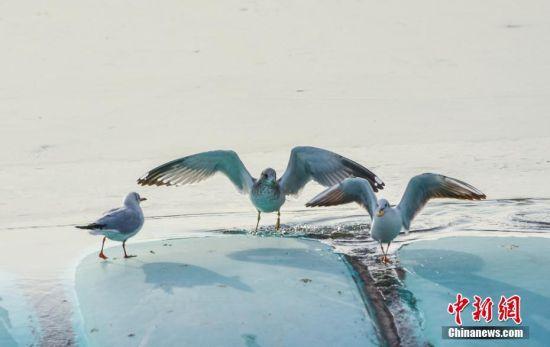海鸥在冰上嬉戏觅食。陈治平 摄