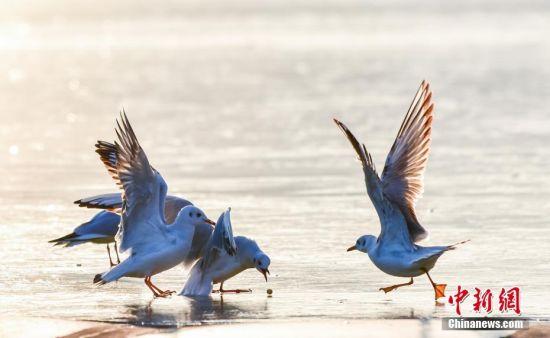 甘肃天水市藉河迎来一群海鸥。陈治平 摄