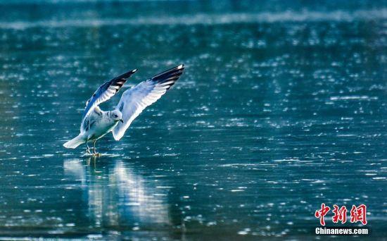 海鸥戏水。陈治平 摄