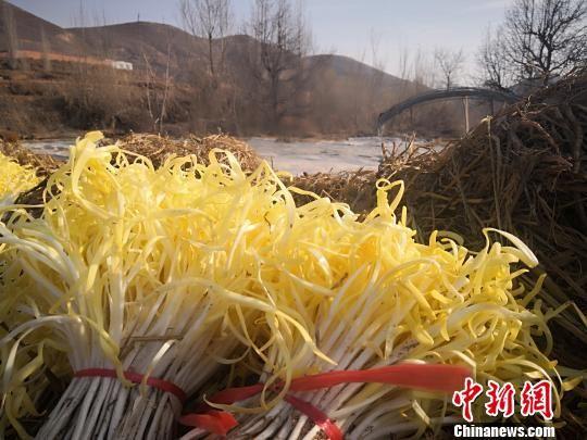 """兰州古法种植韭黄:""""金凰后""""助农过上""""韭肉生活"""""""