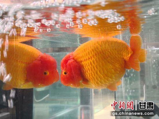 图为参赛金鱼展出游姿。张婧 摄
