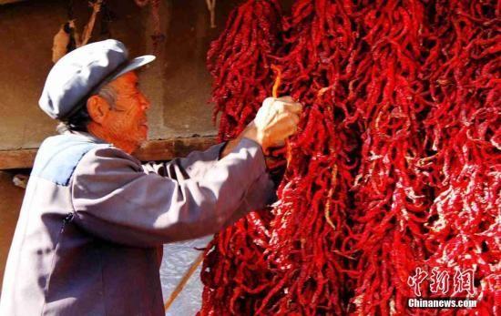 """资料图:甘肃某县特色支柱产业""""航椒""""丰收。乔理 摄"""