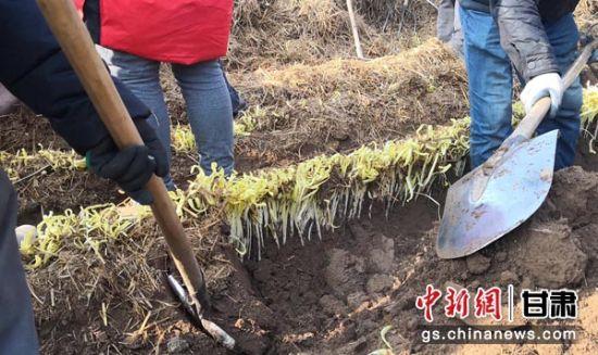 兰州种植韭黄已有数百年历史,其中张家大坪村当地生产的韭黄根茎粗壮、叶片肥美,久负盛名。 杜萍 摄