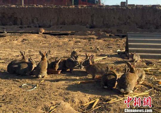 在散养区,小兔子在地上活蹦乱跳。 盘小美 摄