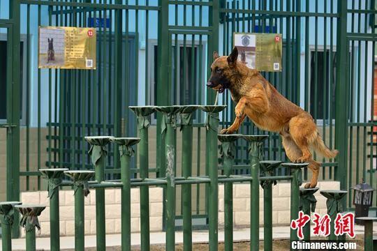 图为搜救犬训练。 杨昊 摄