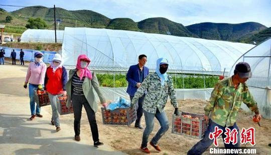 2018年,会宁县投入塑料大棚建设资金1.8亿元,配套蔬菜基地基础设施建设资金1500万元,全县蔬菜种植面积达到10万亩。(资料图) 王瑞 摄