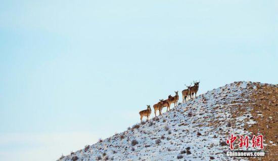 图为一群白唇鹿在山巅觅食。孟根朝力 摄