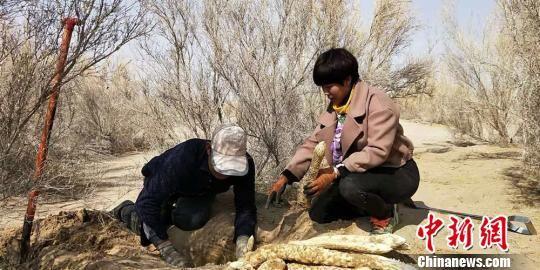3月5日,在甘肃省民勤县青土湖沙产业示范园,干练利落的崔爱萍正忙着指导村民采挖肉苁蓉。 马爱彬 摄
