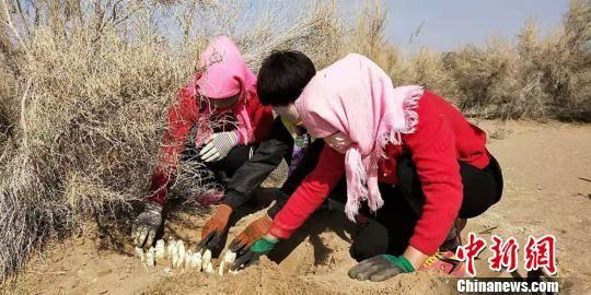 图为崔爱萍指导村民采挖肉苁蓉。 马爱彬 摄