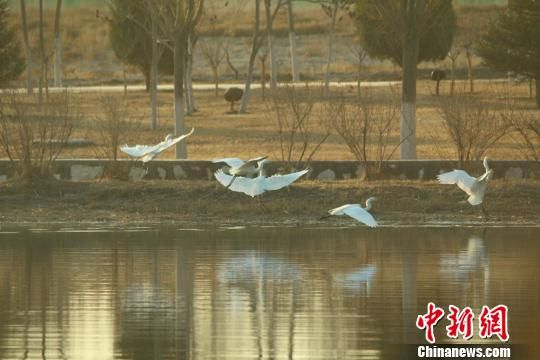 图为白鹭在湖面飞翔。 陈兴明 摄
