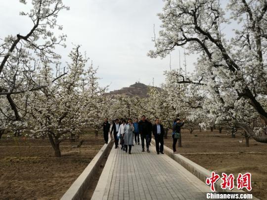 """图为""""世界第一古梨园""""梨花盛开。 杨娜 摄"""