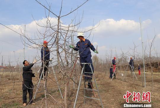 何晓春(左一)指导服务队队员修剪果树。 盘小美 摄