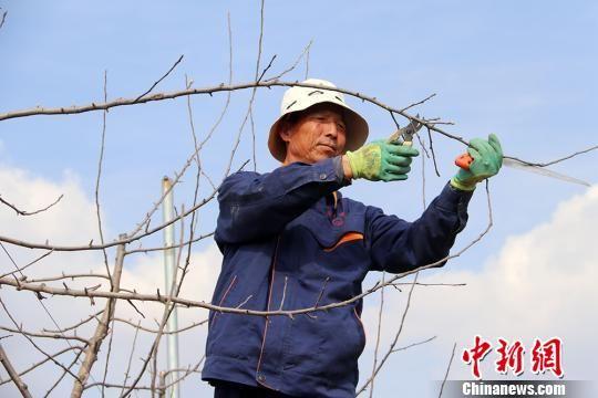 禾顺果蔬种植合作社技术服务队队员在修剪苹果树。 盘小美 摄