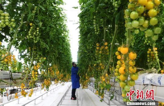 图为在酒泉日光温室大棚内,长势旺盛的各类果蔬。(资料图) 杨艳敏 摄
