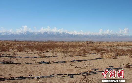 目前临泽县已建成防风固沙林27.4万亩,阻沙林带189公里。 赵学荣 摄