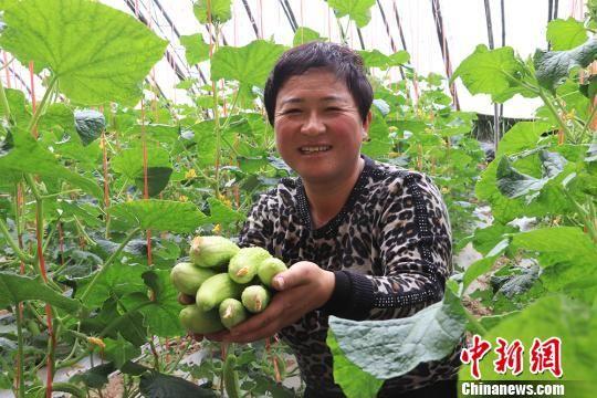 孙治权的妻子侯晓莉采摘黄瓜。 盘小美 摄