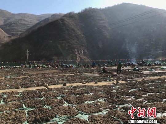 图为宕昌县的中药材。(资料图) 闫姣 摄