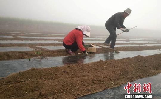庆阳合心养殖合作社组织村民种植构树。 盘小美 摄