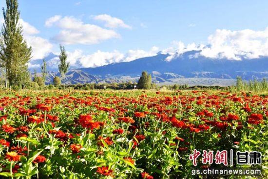 """图为肃北县""""七彩花田・千亩花海""""鲜花盛开。(资料图) 摄"""