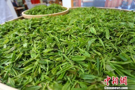 """陇南茶叶主产区属高纬度高海拔区,是""""高山云雾茶""""。 高展 摄"""