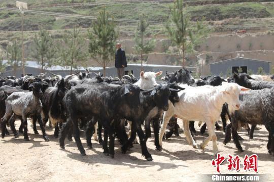 常正军饲养的陇东黑山羊。 高展 摄