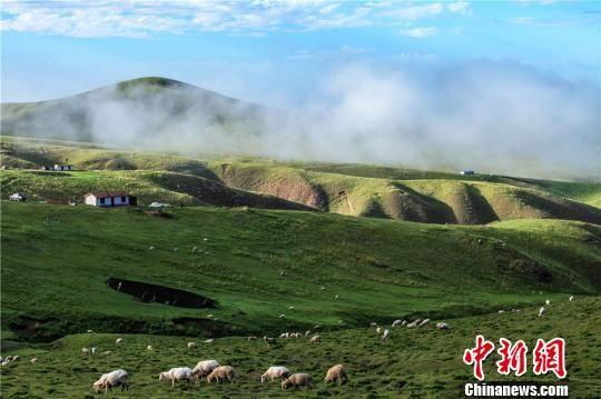 图为羊儿四散在草中嬉戏觅食。 杨世军 摄