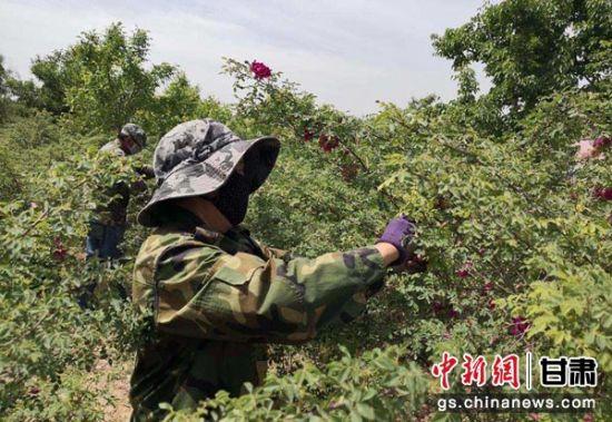 """兰州市永登县苦水镇是闻名遐迩的""""中国玫瑰之乡""""。(资料图)"""