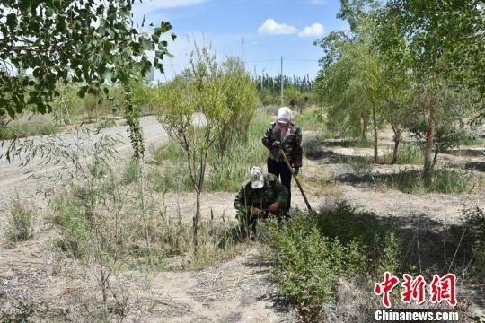 图为护林员接水管养护树木。 魏金龙 摄