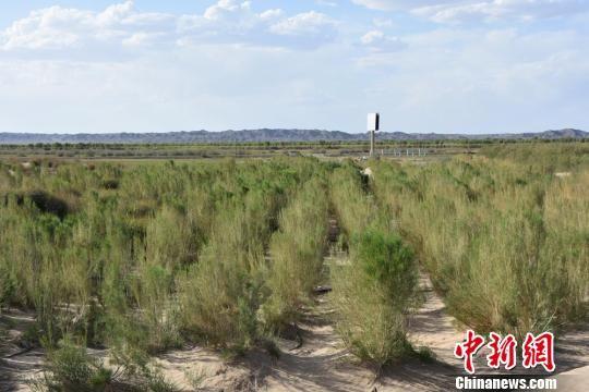 图为绿树成荫的瓜州县人工胡杨林区。 魏金龙 摄