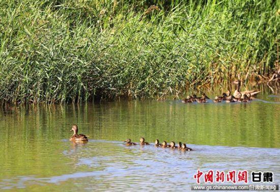 张掖高台黑河湿地候鸟进入繁殖高