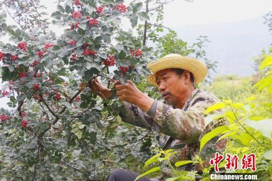图为采摘花椒的农民。(资料图) 刘玉玺 摄