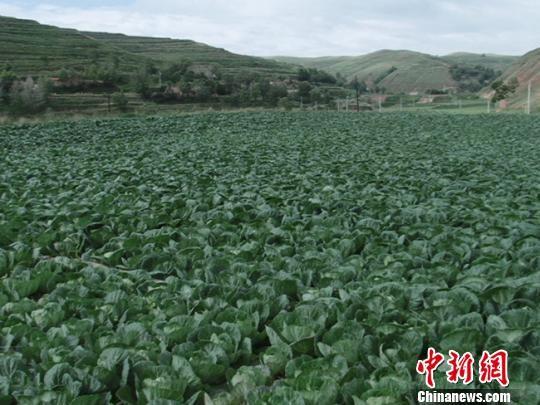图为临洮县连儿湾乡高原夏菜长势喜人。 王永林 摄